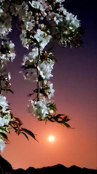 月と桜と山