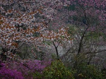 桜と桃と椿